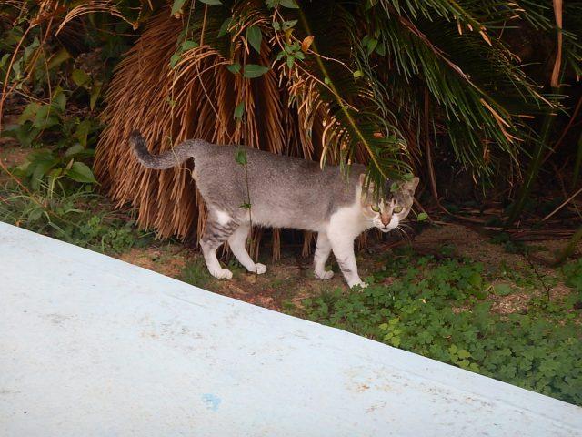 プリシアリゾートヨロンに住む猫