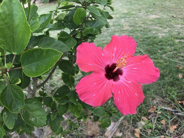 プリシアリゾートヨロンの花