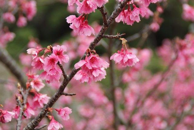冬の沖縄で楽しめる桜