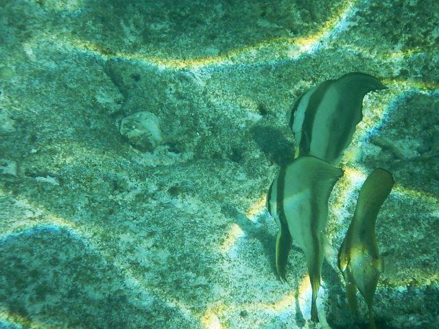 与論島旅行のシュノーケルで見た魚