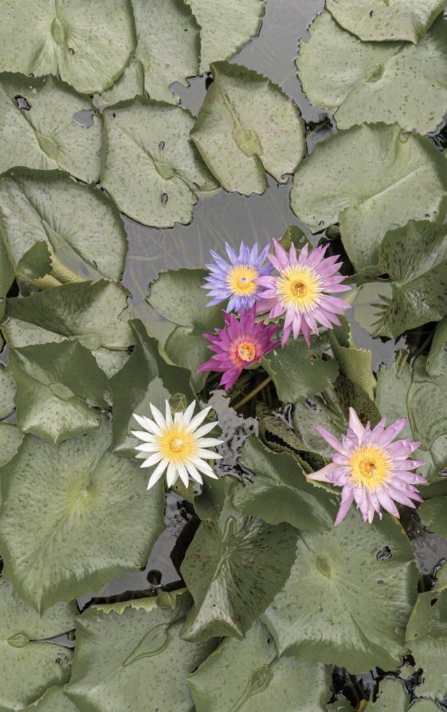 サロジンの蓮の花